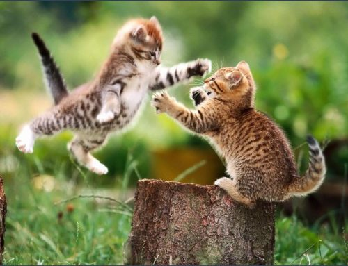 Des petits chatons qui jouent avec des gros chiens !