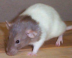 espèce rat bareback
