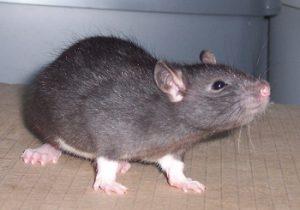 espèce rat berkshire