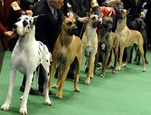 Comment préparer son chien à un concours canin