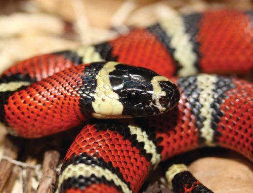 Quels types de serpents choisir pour débuter?