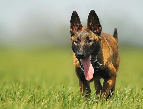 les chiens et les mutuelles qui permettent de protéger leur santé