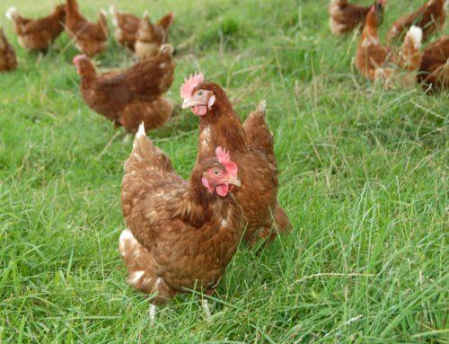 Comment bien débuter dans l'élevage de poules pondeuses