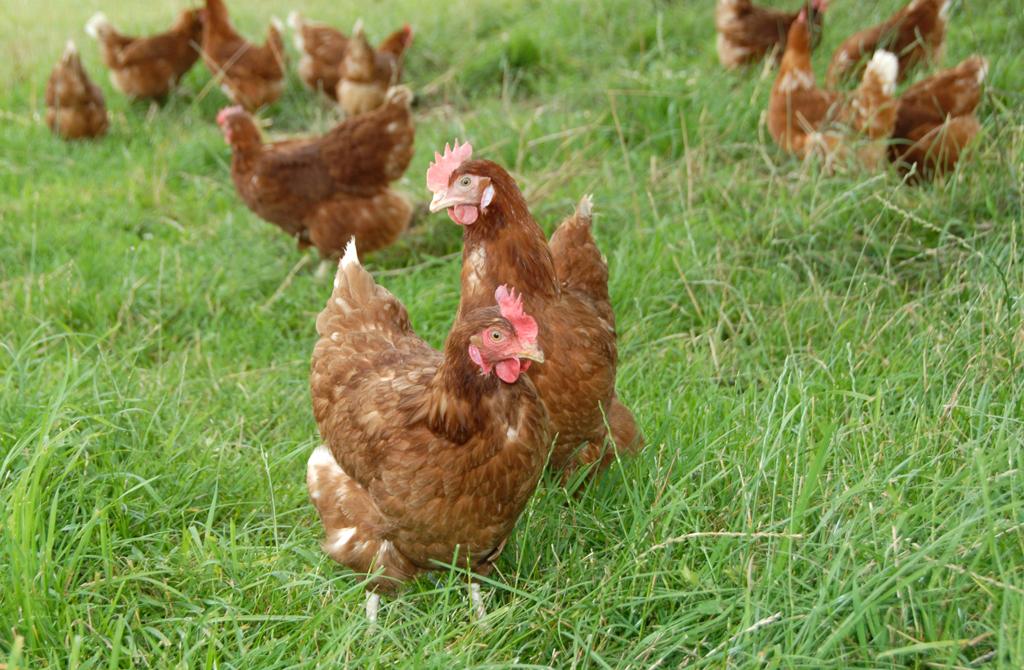 Comment lever des poules pondeuses dans son jardin - Image de poule ...