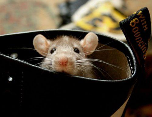 Les différents types de rats domestiques