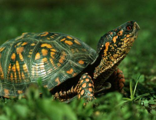 La tortue: un animal de compagnie calme et reposant