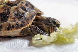 tortue qui mange de la laitue