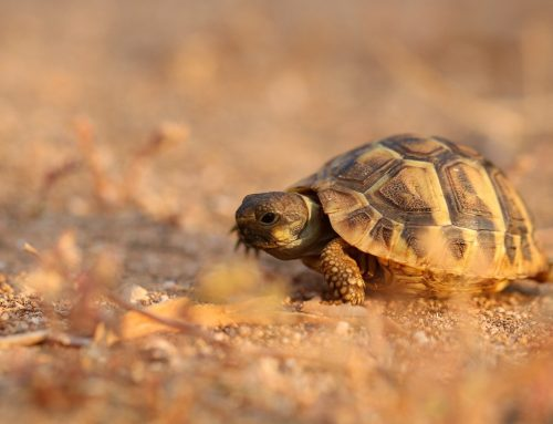 Comment s'occuper d'une tortue terrestre ?