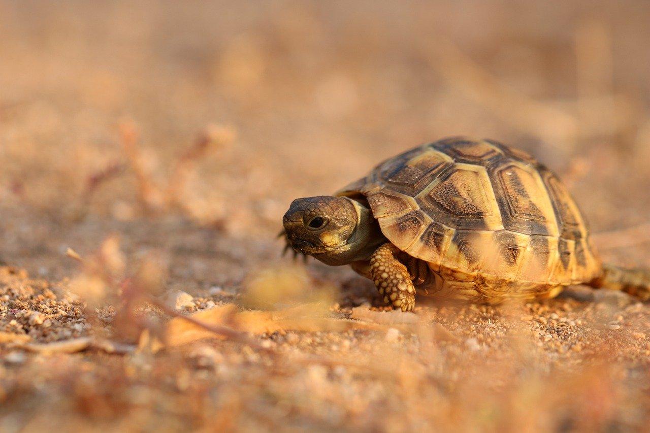 tortue terrestre coucher de soleil sur la plage