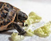 tortue de terre qui mange de la laitue
