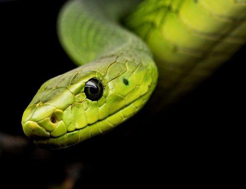 Quel serpent adopter pour débuter?