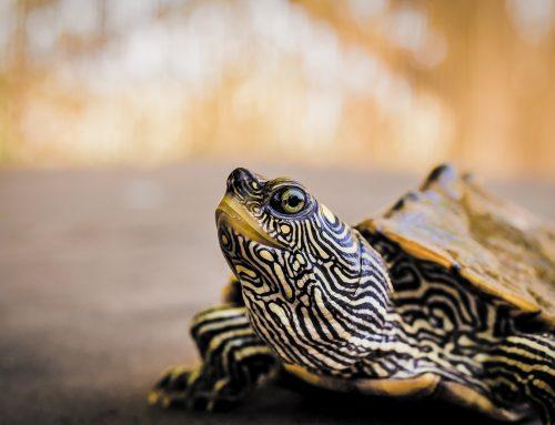 Tout savoir sur la tortue d'eau